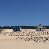 Gaviotas - Portuguese seagulls occupying Praia da Caparica.